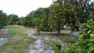 Citrus Orchard 002