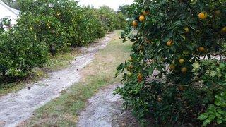 Citrus Orchard 003
